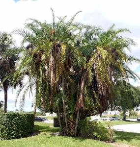 02 Clustering Reclinata Palm Tree