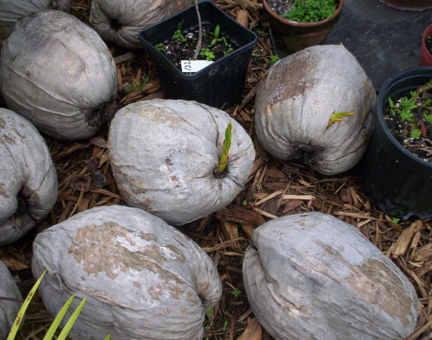 coconut-palm-tree-seeds-on-061505