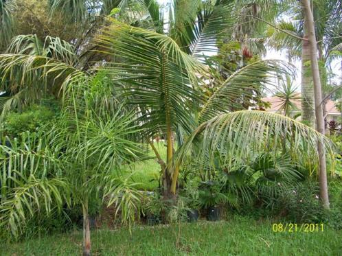 tall-jamaican-coconut-palm-tree-on-100211