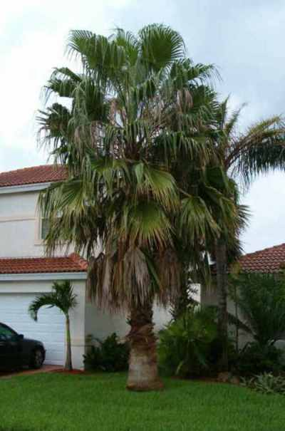 03 Washington palm tree on 062810 3
