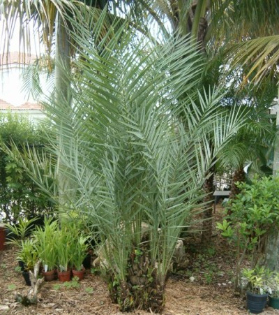 Date Palm Tree Barcelona 5