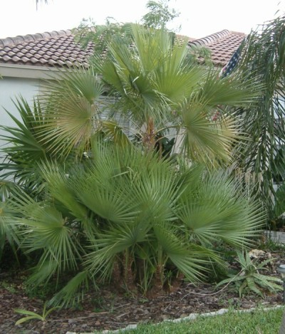 Paurois Palm Tree 7