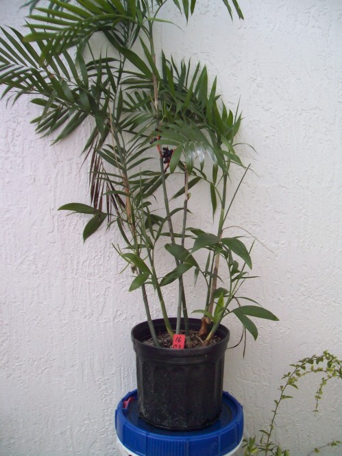 16 Bamboo Palm Tree with Several shoots