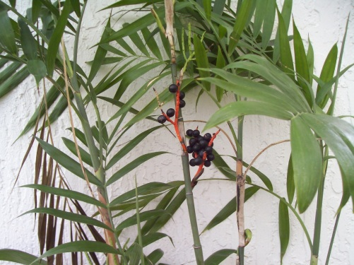 16 Black Seeds of a Bamboo Palm Tree