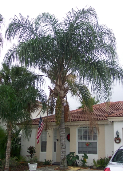 Queen palm tree mature 033017