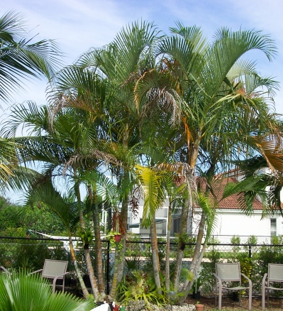mature areca palm trees