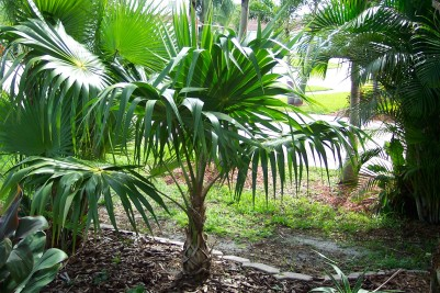 12 Florida Thatch palm tree