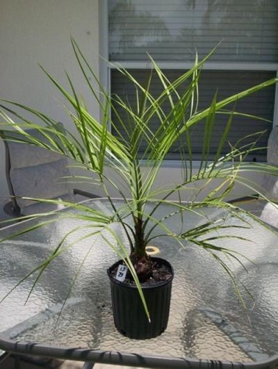 13 Pindo palm tree