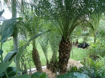 Dwarf Pygmy Date Palm Tree 15