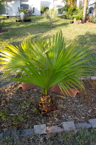 19 Chinese Fan palm tree