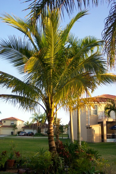 22 Coconut palm tree in 2009