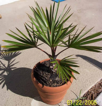25 Red latan palm tree