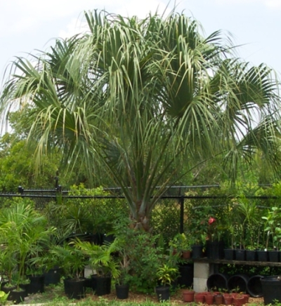 29 Cabbage palm tree on 062311