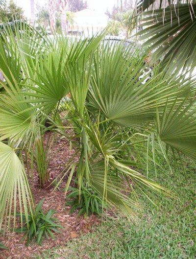 31 European fan palm tree on 0227002
