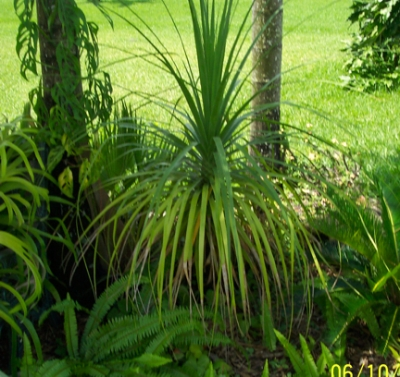 35 Ponytail palm tree on 063006